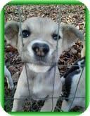 Feist/Terrier (Unknown Type, Medium) Mix Puppy for adoption in Hagerstown, Maryland - Heather