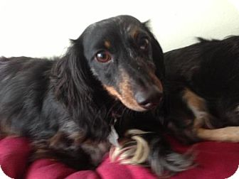 Dachshund Dog for adoption in Atascadero, California - Miss Murphy