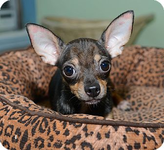 Chihuahua Dog for adoption in New York, New York - Maximilian