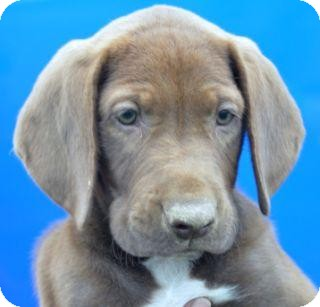 Weimaraner/Basset Hound Mix Puppy for adoption in Phillips, Wisconsin - Bacardi