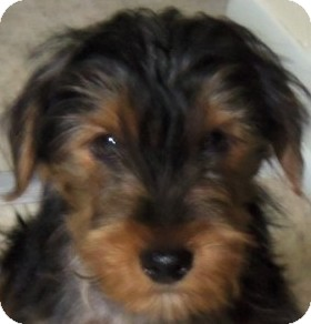 Yorkie, Yorkshire Terrier/Poodle (Miniature) Mix Puppy for adoption in MINNEAPOLIS, Kansas - Sherlock