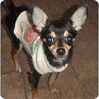 Adopt A Pet :: Pocket - Chimayo, NM