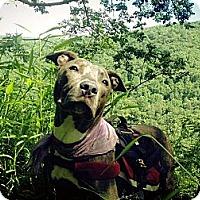 Adopt A Pet :: Shandy - East McKeesport, PA