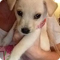Adopt A Pet :: Cora - San Antonio, TX