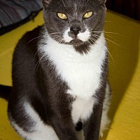 Domestic Shorthair Cat for adoption in Sebastian, Florida - Ricku