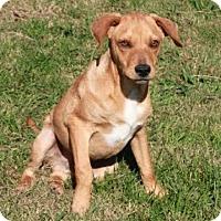 Adopt A Pet :: Ollie - Salem, NH