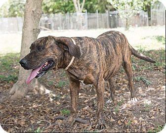 Labrador Retriever Mix Dog for adoption in Key Biscayne, Florida - Cinco