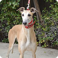 Adopt A Pet :: Bambi - Walnut Creek, CA