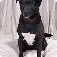 Adopt A Pet :: Moxie Lab - St. Louis, MO