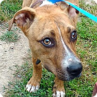 Adopt A Pet :: Roxie - Manhasset, NY