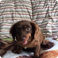 Adopt A Pet :: Miss Molly (POM-DC) - Washington, DC