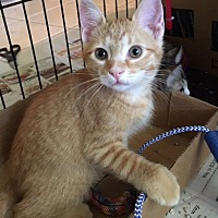Bengal Kitten for adoption in Sunny Isles Beach, Florida - Skippy