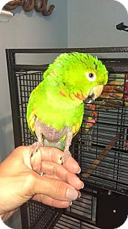 Conure for adoption in Hightstown, New Jersey - Jack
