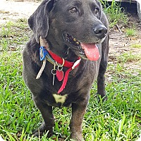 Basset Hound/Labrador Retriever Mix Dog for adoption in Houston, Texas - Boomer