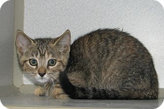 Domestic Shorthair Kitten for adoption in Ruidoso, New Mexico - Billie