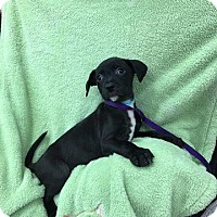 Labrador Retriever Mix Puppy for adoption in Plainfield, Illinois - Buster
