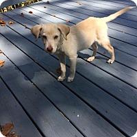 Golden Retriever Mix Puppy for adoption in Alpharetta, Georgia - Grano