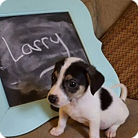 Chihuahua/Terrier (Unknown Type, Small) Mix Puppy for adoption in joliet, Illinois - Larry