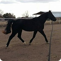 Quarterhorse/Grade Mix for adoption in Peralta, New Mexico - **SHETAN