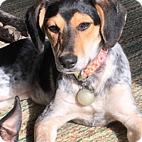 Beagle/Bluetick Coonhound Mix Puppy for adoption in Ashland, Kentucky - Maple