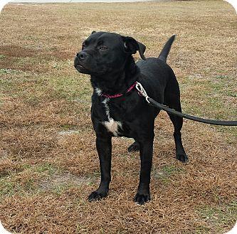 Labrador Retriever Mix Dog for adoption in Wilmington, North Carolina - ONYX