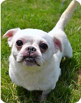 French Bulldog/Chihuahua Mix Dog for adoption in South Bend, Indiana - Smeagol