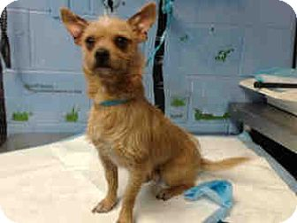 Chihuahua/Terrier (Unknown Type, Small) Mix Dog for adoption in San Bernardino, California - URGENT ON 12/6  San Bernardino