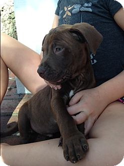 Labrador Retriever/Mixed Breed (Medium) Mix Puppy for adoption in Jacksonville, Florida - Fred