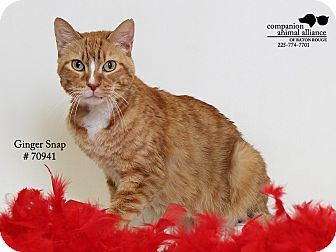 Domestic Shorthair Cat for adoption in Baton Rouge, Louisiana - Ginger Snap  (Foster Care)