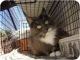 Domestic Mediumhair Cat for adoption in Los Angeles, California - Smokey