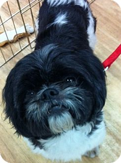 Shih Tzu Dog for adoption in Studio City, California - Lang Lang