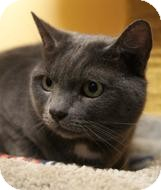 Domestic Shorthair Cat for adoption in Medford, Massachusetts - Smokey