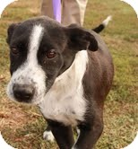 Labrador Retriever/Pointer Mix Dog for adoption in Hagerstown, Maryland - Chester $100 OFF!