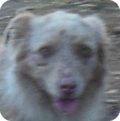 Australian Shepherd Dog for adoption in MINNEAPOLIS, Kansas - Astaire