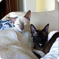 Adopt A Pet :: Yin & Yang - Gilbert, AZ