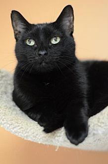 Domestic Shorthair Cat for adoption in Atlanta, Georgia - Zuzu 10039