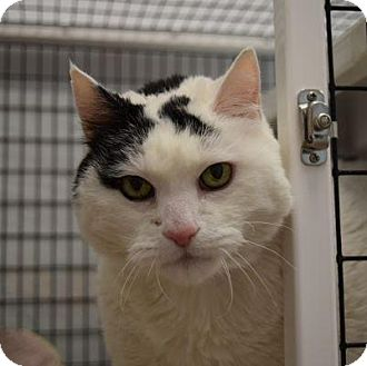 Domestic Shorthair Cat for adoption in Denver, Colorado - Roo