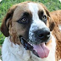 Adopt A Pet :: Beatrix - Austin, TX