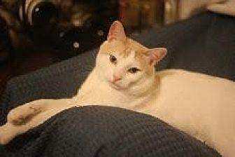 Domestic Shorthair Cat for adoption in New York, New York - Colby