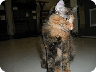 Domestic Longhair Cat for adoption in Milwaukee, Wisconsin - Tigerlily