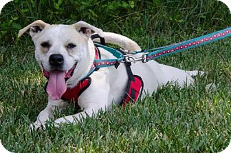 Labrador Retriever Mix Dog for adoption in Midlothian, Virginia - Stella