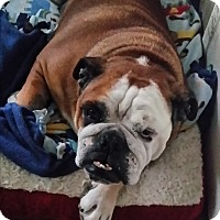 English Bulldog Dog for adoption in Santa Ana, California - Beefy