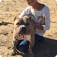 Staffordshire Bull Terrier/American Bulldog Mix Dog for adoption in Vacaville, California - max