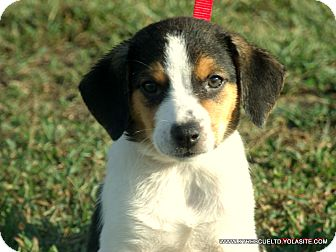 Border Collie/Beagle Mix Puppy for adoption in PRINCETON, Kentucky - MOLLY/in Maine