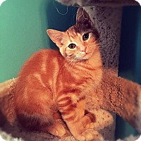 Domestic Shorthair Kitten for adoption in Mooresville, North Carolina - A..  Whitney