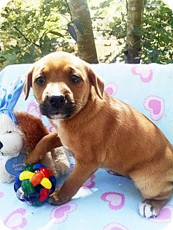 Boxer/Shar Pei Mix Puppy for adoption in Marion, North Carolina - Sweet Pea