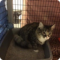 Domestic Mediumhair Cat for adoption in Janesville, Wisconsin - Saturn
