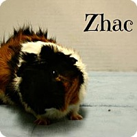 Guinea Pig for adoption in West Des Moines, Iowa - Zhao