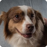 Australian Shepherd Dog for adoption in Colorado Springs, Colorado - Milly