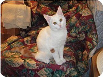 Domestic Shorthair Kitten for adoption in Colmar, Pennsylvania - Henree